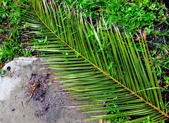 For The Martyrs (giveawayboy) Tags: palm frond martyrdom