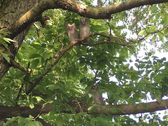 Three Eastern screech owlets (REGOR NOTPUL) Tags: eastern screech owlets glenburnie ontario