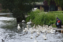 Feeding Swans (cdb41) Tags: river nene wellingborough swan