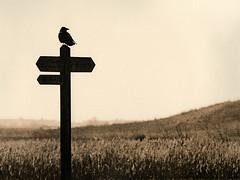 Crow (justin.syndercombe) Tags: film filmisnotdead canoneos30 bowersmarsh crow bird darkroom lithprint ilford hp5 sign
