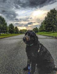 (Mark ~ JerseyStyle Photography) Tags: markkrajnak jerseystylephotography bojangleshawthorne june2019 2019 wheatonsheepdog
