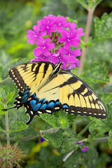Eastern Tiger Swallowtail (cooper.gary) Tags: affinityphoto appalachiantiger butterfly canon canonef70200mmf28lusm canoneos canoneos5dmarkii canonphotography eos flickr flora garden insect mindfulness moments polination spring swallowtail tigerswallowtail wings zen macrolepidopteran papilionoidea papillon yellow color nature contrasts shapes northernvirginia virginia urban mariposa バタフライ vlinder