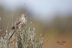 Sage Thrasher came over to get a photo op! (littlebiddle) Tags: birds aves nature wildlife feathers feather washington ellensburg