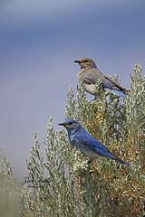 Mountain bluebird pair! (littlebiddle) Tags: birds aves nature wildlife feathers feather washington ellensburg