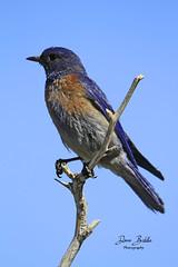 Western Bluebird getting high! (littlebiddle) Tags: birds aves nature wildlife feathers feather washington ellensburg