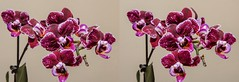 Small orchid flowers. (Bill A) Tags: stereo3d flowers stereoscopic orchidaceae phalaenopsis parallelview stereoscopic3d orchid miniorchid