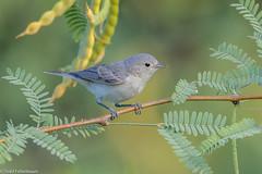 CA3I4927-Lucy's Warbler (tfells) Tags: lucyswarbler bird songbird nature wildlife arizona gilbertwaterranch oreothlypisluciae