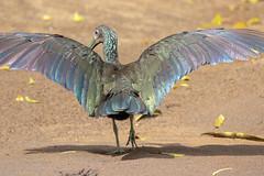 20190614 Green Ibis (rudygarns) Tags: jun14 costarica