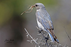 Time for a new nest! (littlebiddle) Tags: birds aves nature wildlife feathers feather washington ellensburg