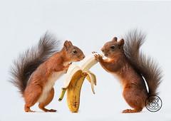 red squirrels holding a banana (Geert Weggen) Tags: mammal rodent squirrel nature animal red closeup cute funny happy summer ground spring bright light look tender love wondering food vegetable health load carry banana fruit yellow openmouth bispgården jämtland sweden sweet geert weggen hardeko ragunda