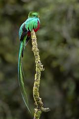 Resplendent Quetzal (AHPFineArt) Tags: bird quetzal costarica nature wildlife fauna
