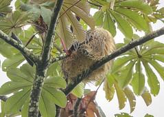 20190614 Sloth (rudygarns) Tags: jun14 costarica