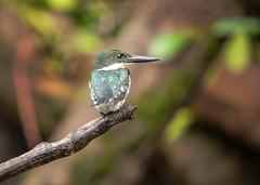 20190614 Green Kingfisher (rudygarns) Tags: jun14 costarica