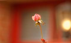 Le monde rose - The rose world -  mars - march 2019 (p.franche burn out) Tags: fleur flower macro nature bokeh sony sonyalpha65 dxo photolab2 bruxelles brussel brussels belgium belgique belgïe europe pfranche pascalfranche schaerbeek schaarbeek blume 花 blomst flor פרח virág bunga bláth blóm bloem kwiat цветок kvetina blomma květina ดอกไม้ hoa زهرة jardin garden pétales étamines pistil feuilles rose rosa bouton petals stamens leaves pink button