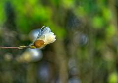 Naissance d'un magnolia  - Birth of a magnolia - mars - march 2019 (p.franche malade - Sick) Tags: fleur flower macro nature bokeh sony sonyalpha65 dxo photolab2 bruxelles brussel brussels belgium belgique belgïe europe pfranche pascalfranche schaerbeek schaarbeek pétales étamines pistil feuilles blanc bouton jardin magnolia petals stamens leaves white button garden blume 花 blomst flor פרח virág bunga bláth blóm bloem kwiat цветок kvetina blomma květina ดอกไม้ hoa زهرة
