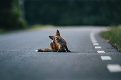 the road scratch (robert.lindholm87) Tags: road nature animal canon sweden fox scratch 200mm mirrorless red summer puppy pup asphalt
