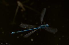 La belle bleue (Francis Fantoni) Tags: nikon d810 insecte insect libellule dragonfly bleu blue vole fly eau water
