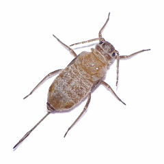 Stomaphis graffii (Julian Hodgson) Tags: stomaphisgraffii hemiptera aphididae lachninae stomaphis insect aphid alate alatiform sycamore acerpseudoplatanus holmefen nationalnaturereserve holme cambridgeshire unitedkingdom sonydschx400v raynoxdcr150