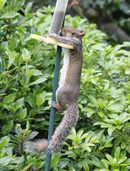 Grey Squirrel - Stop, Thief ! (Monopthalmos) Tags: greysquirrel sciuruscarolinensis invasivespecies