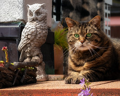 There is a party going on in the neighbour's garden .... (FocusPocus Photography) Tags: cleo katze cat tabby eule owl tier animal haustier pet