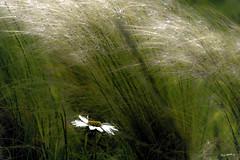 Wiesen-Margerite (Leucanthemum vulgare) (wb.fotografie) Tags: magerwiesenmargerite leucanthemumvulgare margeriten korbblütengewächse wiesenmargeriten wiesen wind gras