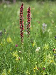 Echium maculatum (Kalmár Zsuzsanna) Tags: olympuse620 macro nature natur natura flower blume flor echium red heliosm44 hungary