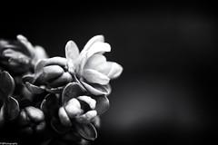 spring b&w #6 (fhenkemeyer) Tags: blossom flower bw nature garden macro