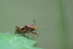 Rhopalus subrufus (Gmelin, 1790) (Benjamin Fabian) Tags: rhopalus subrufus rhopalidae heteroptera hemiptera true bug portrait insect arthropod hexapod glas flügel wanze cute macro close up sony sel90