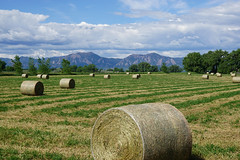 Roll on (Let Ideas Compete) Tags: field farm farming agriculture flatirons hay haybales cowfood horsefood hayrolls haycylinders bearpeak harvest processedcowfood hayroll roundhaybales