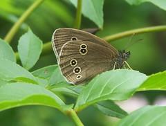 Ringlet (ERIK THE CAT Struggling to keep up) Tags: littleheath staffordshire toft butterflies lepidoptera ngc npc