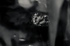 Big eyes in the water (LonánWL) Tags: canoneos200d sigma70200f28dgoshsmsports closeup wildlife frog nature outdoor outside blackandwhite blackwhite blackwhitephotos monochrome eyes grenouille oeils noiretblanc noirblanc water eau swamp marre reflet reflection