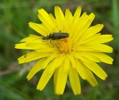 Hawkbit and Longhorn Beetles Grammoptera Ruficornis (ERIK THE CAT Struggling to keep up) Tags: littleheath staffordshire toft leontodonsps asteraceaesp ngc npc grammopteraruficornis
