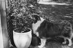 Anthony loves blueberries (unbunt.me) Tags: contaxg1 meinfilmlab ilfordhp5 analog wwwmeinfilmlabde blackandwhite contax blackwhite dog film anthony bordercollie hund