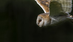 A beautiful face (Ann and Chris) Tags: amazing awesome adorable beautiful close cute eye gorgeous barnowl barn owl flying gliding incredible stunning unusual unbelievable wild
