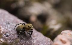 Talavera aequipes (O. P.-Cambridge, 1871), male (Benjamin Fabian) Tags: talavera aequipes male salticid salticidae jumping spider spring spinne araneae arthropod chelicerat close up macro sony sel90