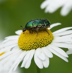 bug on flower (Håkan Jylhä (Thanks for +1000000 views)) Tags: bug skalbagge green grön blomma flower vit white prästkrage håkan jylhä sony rx10iv sweden sverige guldbagge