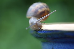 Garden snail #2 (Don McDougall) Tags: donmcdougall don mcdougall bug bugs critter critters macro gardenlife watford flora fauna snail gardensnail snails