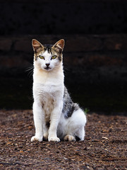 Pet Sematary (AdrianoSetimo) Tags: cat gato sinister sinistro petportrait streetphotography olympusomdem10 em10mkii panasoniclumixgvario45200mmf4056