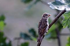 Sparrow (JaaniicB) Tags: canon eos 77d tamron 70300 di vc usd bird birds sparrow sparrows tree rest bokeh chilling animal