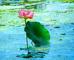 The Lotus and the Leaf (Stanley Zimny (Thank You for 42 Million views)) Tags: lotus leaf flower innisfree botanical garden water pretty beautiful lily waterlily