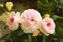 Old roses (Helene Iracane) Tags: nikon d3100 photography beautiful pretty pink rose roses flower flowers nature jardin botanique garden botanic botanical petal petals fleur fleurs rosebush rosier rosiers trois three