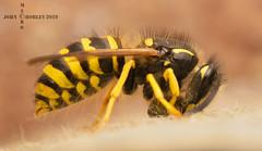 Wasp Stripping wood (John Chorley) Tags: wasp yellow 2019 nature wildlife macro macrophotography macros closeup johnchorley