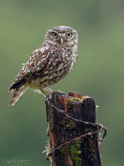 Little Owl (Nigel Hodson) Tags: canon 1dxmkii 600mmf4ii owl owls littleowl birds birdphotography bird birdofprey nature naturephotography wildlife wildlifephotography