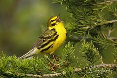 Prairie Warbler (Brian Lasenby) Tags: bird nature warbler prairiewarbler wildlife ontario canada