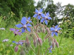 Borretsch (Borago officinalis) (1) (naturgucker.de) Tags: ngid364764487 boragoofficinalis borretsch