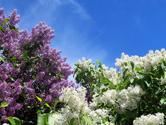 Lilacs! (yooperann) Tags: deep purple white lilacs blue sky sunny day marquette upper peninsula michigan flowers