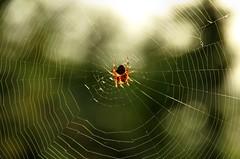 (Matteo Salvador) Tags: matteosalvador ragno spider spiderweb web ragnatela backlight controluce aracnide