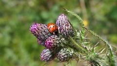 Harlequin Ladybird (Nick:Wood) Tags: harlequinladybird harmoniaaxyridis ladybird thistle cuttlepoolnaturereserve warwickshirewildlifetrust templebalsall