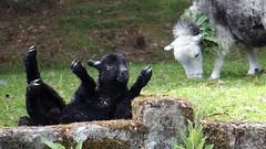 Oops! (Nick:Wood) Tags: lamb sheep tumble bernardsacre dartmoor devon
