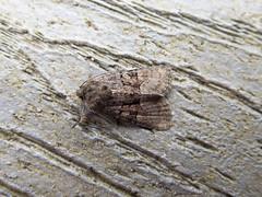 Tawny Marbled Minor? (Baractus) Tags: john oates lakes moth earlswood westmidlands uk tawny marbled minor
